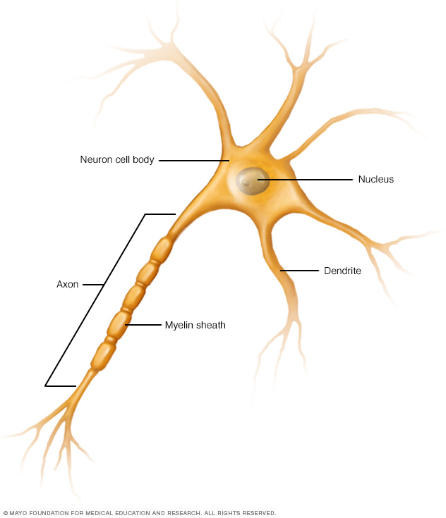 A nerve cell (neuron) showing axon and dendrites.