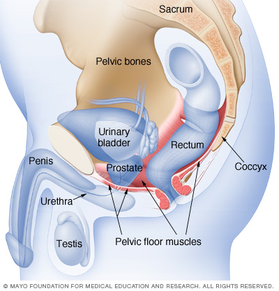 Location of male pelvic floor muscles