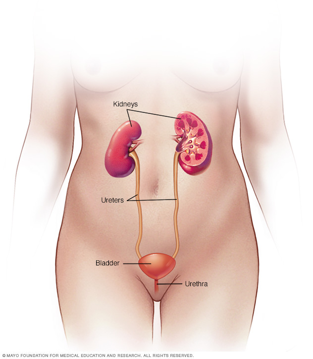 Female urinary system anatomy