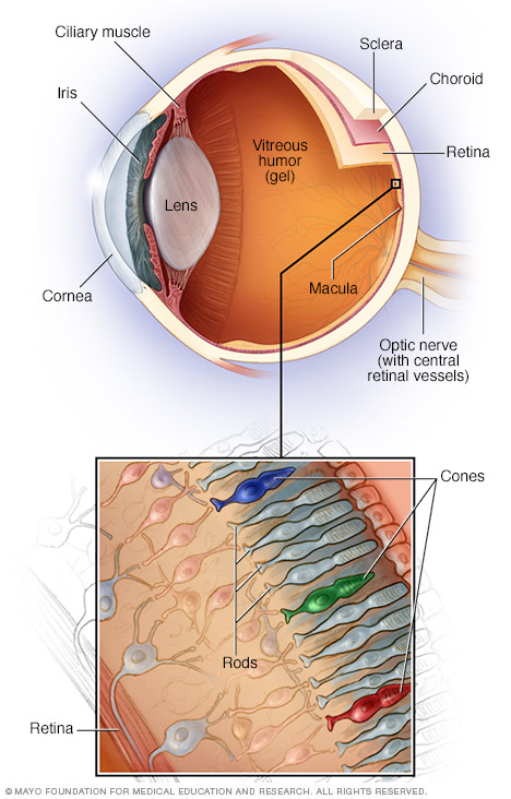 parts of the inner eye